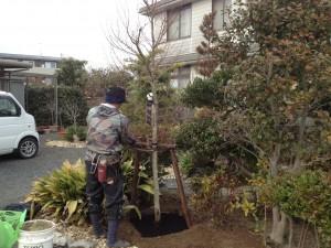 イロハモミジの植栽